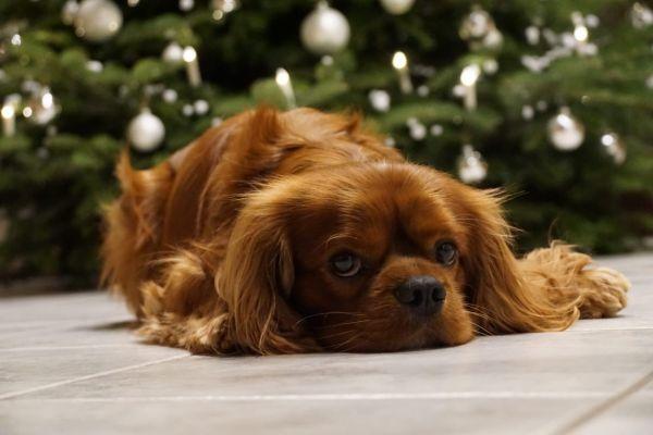 weihnachtliche-cavalier-king-charles-spaniel-2020-0016DEA2222-4FC0-26F9-6819-EE07FE013B89.jpg