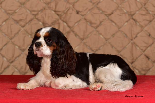 weihnachtliche-cavalier-king-charles-spaniel-2020-002BBE36711-8588-4799-18EA-07D543EED909.jpg