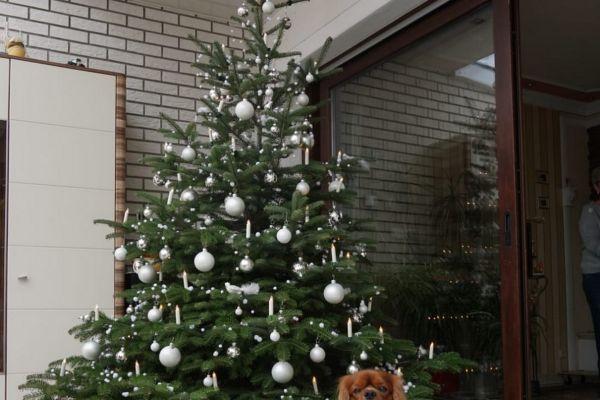 weihnachtliche-cavalier-king-charles-spaniel-2020-004B2B56999-B2B9-6DFA-9DB0-A816ACA6C608.jpg