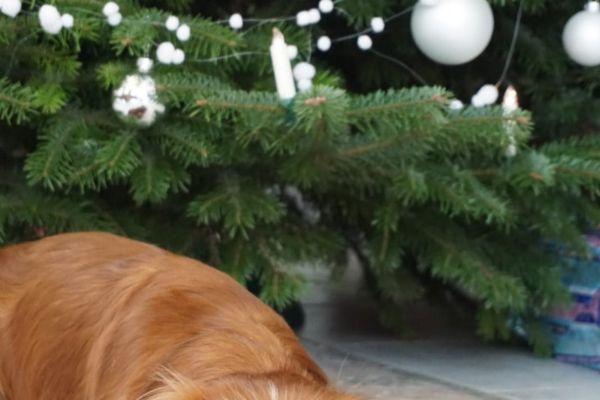 weihnachtliche-cavalier-king-charles-spaniel-2020-0050DA04A8D-7C41-6719-60C1-60D446AE2F79.jpg