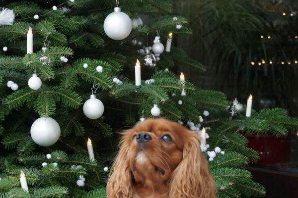 weihnachtliche-cavalier-king-charles-spaniel-2020-0071A027779-0657-6081-969F-6436FEF41F21.jpg