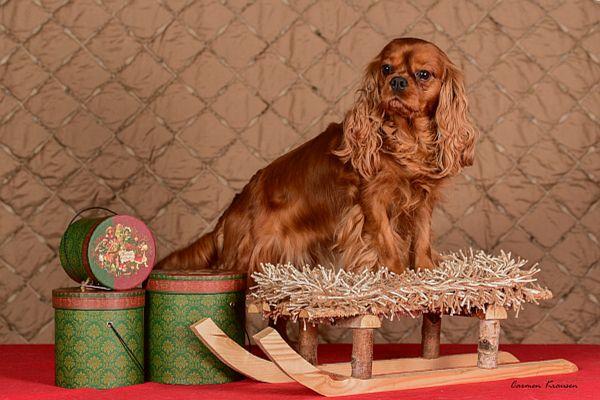 weihnachtliche-cavalier-king-charles-spaniel-2020-009620BEA97-0859-D997-9E9F-87FC777B73C0.jpg