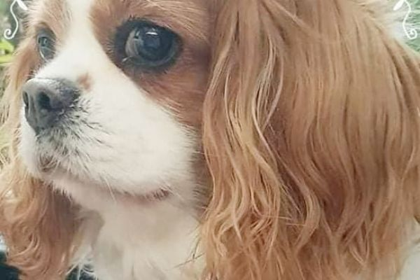 Best of Queens Brooklyn - Cavalier King Charles Spaniel - blenheim