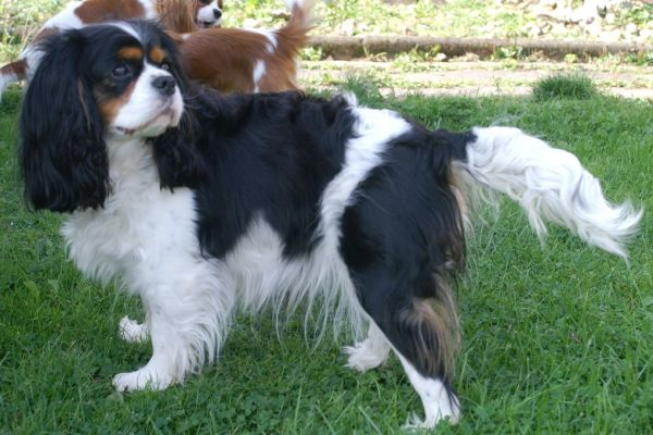 Gibsy Queen of Gillbrook - Cavalier King Charles Spaniel - tricolour