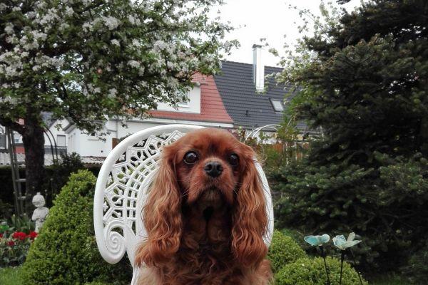 Kathys Cavalier Loulou - Cavalier King Charles Spaniel - ruby